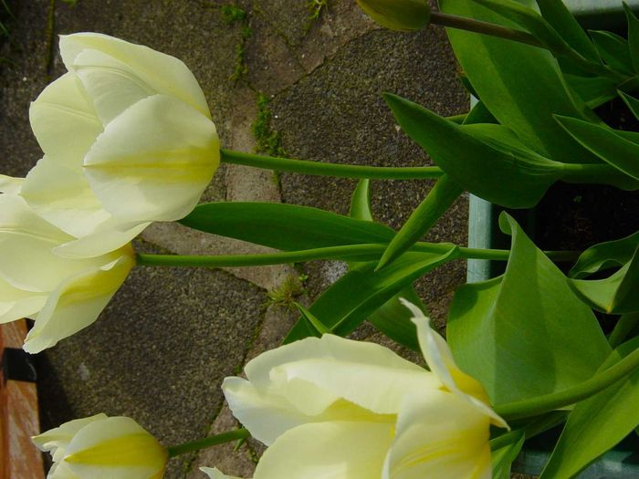 Queen marie tulips