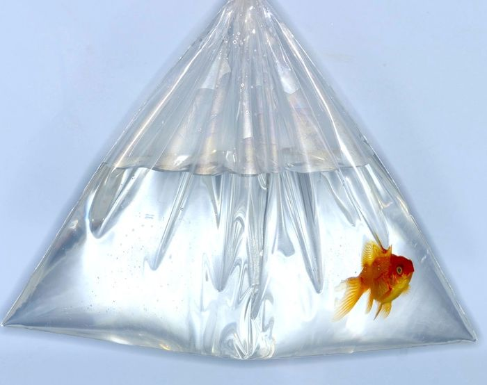 Goldfish-in-bag